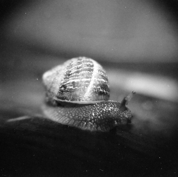 Macro snail. Holga 120 CFN with macro filter and Fomapan Creative 200 film